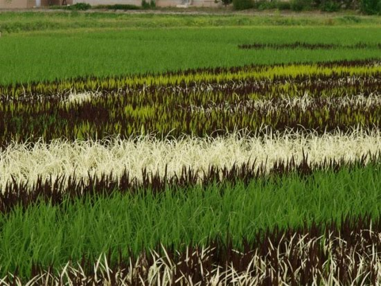 rice-field-close-up-2