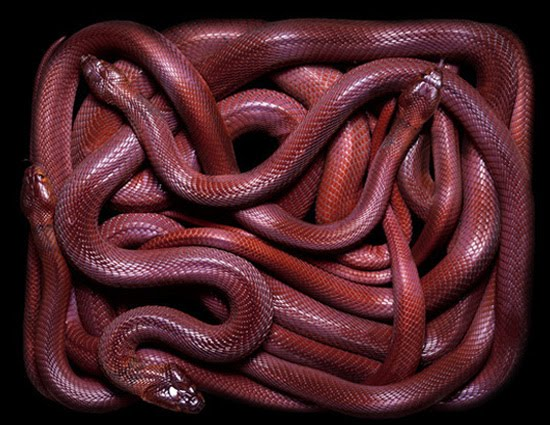 red snake The Most Dangres Snakes In The World