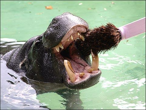 hippo-teeth-wowzers