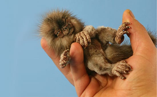 Finger Monkeys Too Small To Be Real