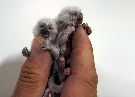 finger-monkeys-too-small