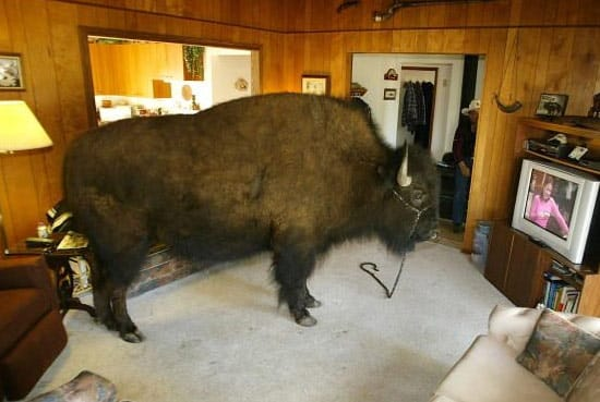 Canadian Man has Buffalo as a House Pet