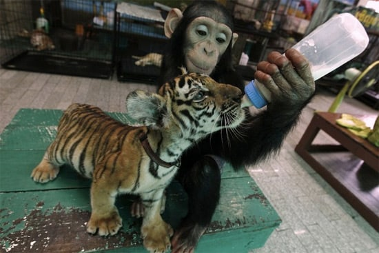 baby-tiger-and-monkey-1