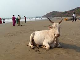 Unusual Beaches and The Cow Beach in Go, India