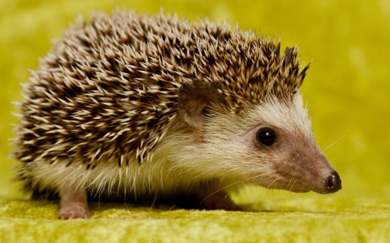 5 Fair Reasons to Get a Hedgehog Pet1