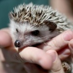 5 Fair Reasons to Get a Hedgehog Pet3