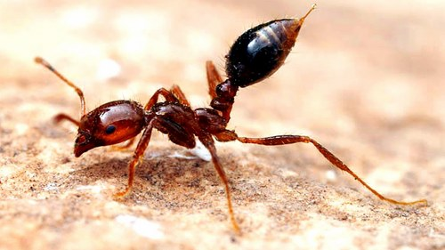 fire ant sting