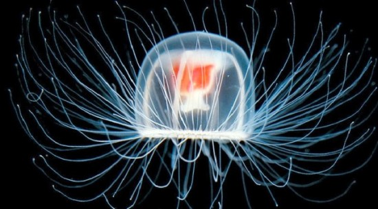 Immortality exists, but only in jellyfish