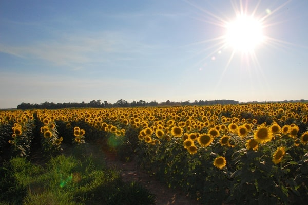 One of the 3 random major scientific falsehoods thought facts - sunflowers follow the sun - is contradicted by this picture of sunflowers facing east, away from the sun.