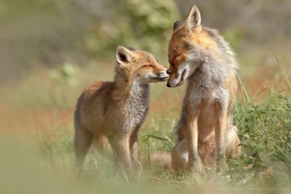 Cat Like -Amazing Facts About Foxes