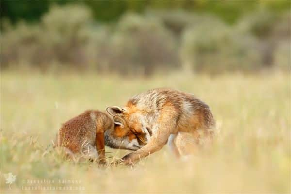 Amazing Facts About Foxes Include Their Parenting Skills