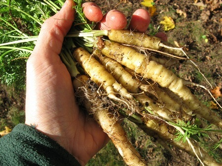 6 Fruits and Vegetables That Looked Way Different Before We Domesticated Them - The Wild Carrots