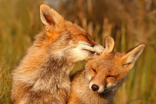 Folklore Appearances Give Us Many Amazing Facts About Foxes