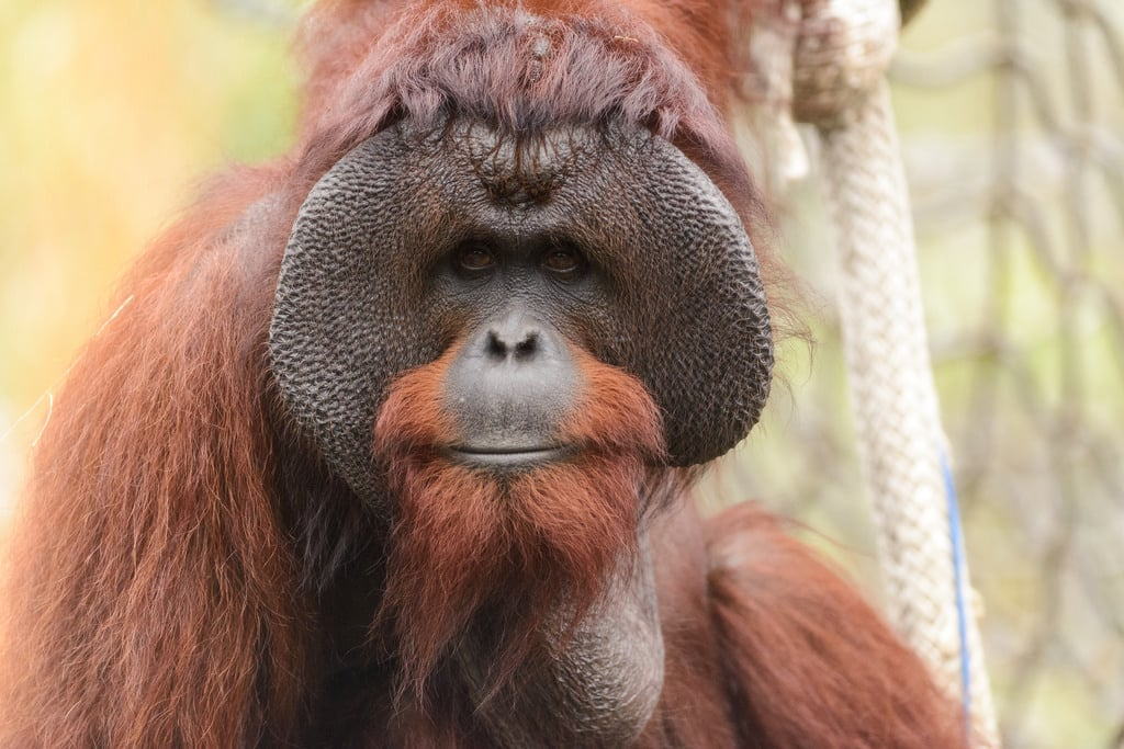 Orangutan with his feirce appearance